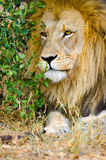 Lion, Male. Kruger National Park, South Africa Royalty Free Stock Image