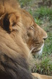 Lion. A male lion laying in the grass Stock Photo