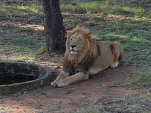 Lion male. Male lion lies in Park next to well Stock Image