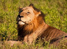 Lion male lying in green grass Royalty Free Stock Photos