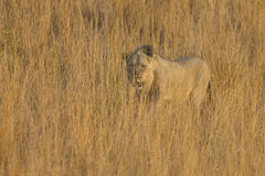 Lion male move in brown grass to kill Royalty Free Stock Photography