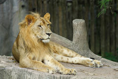 The Lion Stock Photos