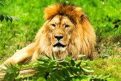 Lion Male Panthera Leo Imagen de archivo libre de regalías