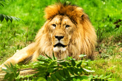 Lion male. Panthera leo. Royalty Free Stock Image