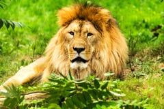 Lion male. Panthera leo. Stock Image