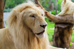 Lion male portrait Stock Image