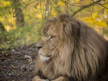 Lion male relaxing portrait view in yellow colors royalty free stock photography
