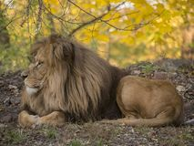 Lion male relaxing portrait view in yellow colors stock images