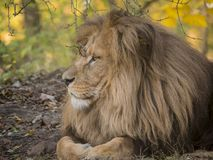 Lion male relaxing portrait view in yellow colors royalty free stock photos