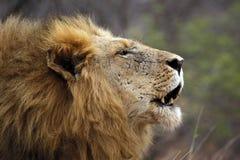 Lion Male Roaring en perfil imagen de archivo