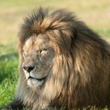 Lion. The male lion is sleeping Stock Photos