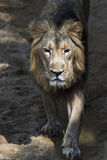 Lion a male Stock Images