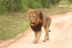 Lion male walking. The lion male was in the reserve. I took the photo on my way home and he just meters from me Stock Photo