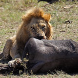 Lion male with wildebeest kill, Serengeti Royalty Free Stock Image