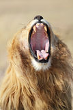Lion male yawning, Serengeti Stock Photography