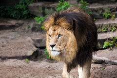Lion male in Zoo Royalty Free Stock Image