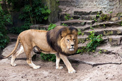 Lion male in Zoo Stock Images