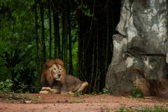 Lion male at the zoo Royalty Free Stock Photos
