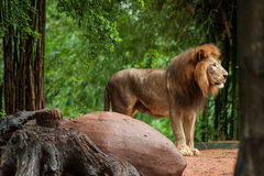 Lion male at the zoo Stock Photo