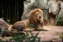 Lion male at the zoo Royalty Free Stock Photo