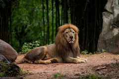 Lion male at the zoo Royalty Free Stock Image