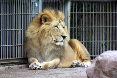 Lion man. Lion lady is laying in front of a cage Stock Images