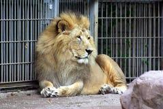 Lion man Stock Images