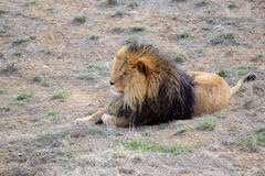 Lion with mane, by itself in open field Stock Photography