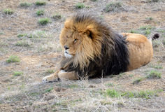 Lion with mane, by itself in open field Royalty Free Stock Photography