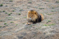 Lion with mane, by itself in open field Stock Photo