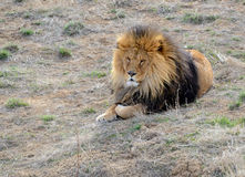 Lion with mane, by itself in open field Stock Photos