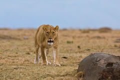 lion mara Royaltyfria Foton