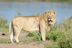 Lion at Mara River. Male Lion standing on river edge Royalty Free Stock Photography