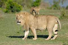 Lion at Mara River Stock Photo