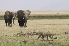 Lion marchant à partir des éléphants Photos stock