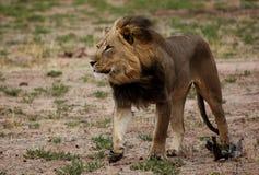 Lion marchant avec le vent par la crinière Photo stock