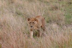 Lion marchant dans les prairies sur Masai Mara, Kenya Afrique photos stock
