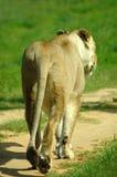 Lion marchant loin Image libre de droits