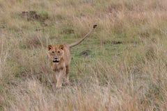 Lion marchant vers la caméra dans les prairies sur Masai Mara, Kenya Afrique photo stock