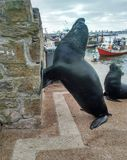 Lion Marine _Punta del Este_Uruguay_2018 fotografering för bildbyråer