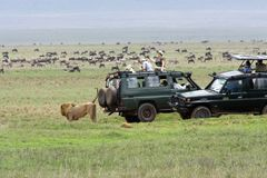 Lion is marking territory in the Ngorongoro crater Stock Photography