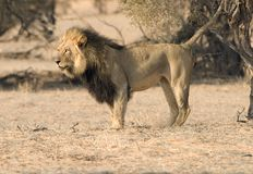 Lion marking terrority. A black mane male lion stops to mark his territory by urinating on a tree in the Kgalagadi National Park, South Africa stock photos