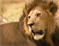 Lion in Masai Mara Royalty Free Stock Image