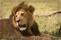 Lion Masai Mara Stock Image
