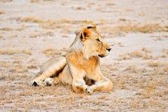 Lion Masai Mara Kenya Royalty Free Stock Photo