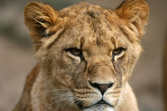 Lion in Masai Mara Kenya Royalty Free Stock Photography