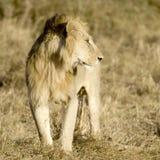 Lion Masai mara Kenya Stock Image