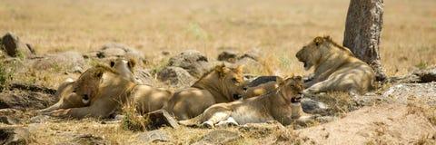 Lion Masai mara Kenya Stock Photo