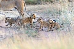 Lion Masai Mara royalty free stock photo