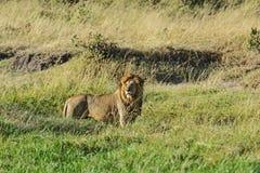 Lion Masai Mara Stock Images